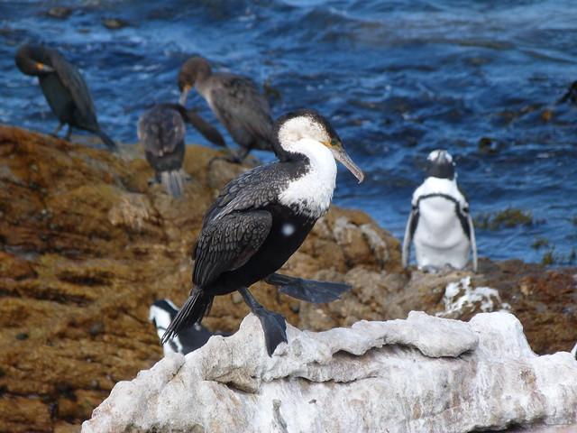 Cormorán en Stony Point (Sudáfrica)
