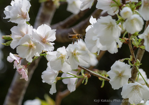 クメノサクラ | Okinawa, Japan 20