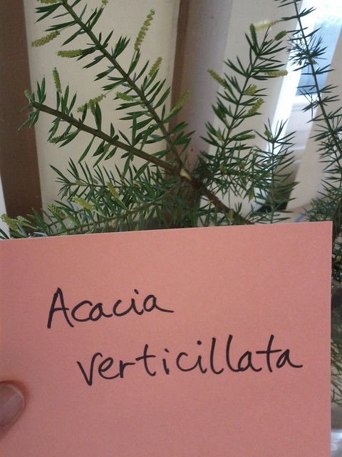 Header of Acacia verticillata