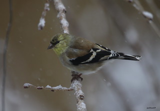 """American Goldfinch"" ""Carduelis tristis"""