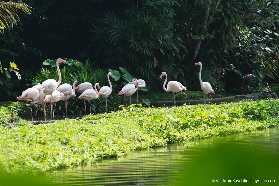 Фламинго в зоопарке Сингапура