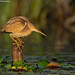 Yellow Bittern!! by Anupam Dash Photography