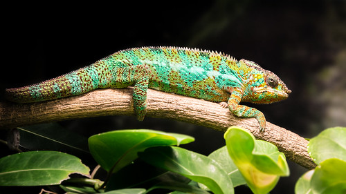 nature museum manchester wildlife photograph chameleon 1000views