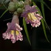 Backlight on desert willow blooms, Tucson Botanical Gardens by Distraction Limited