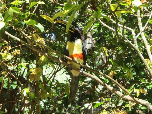 Le Parc des Oiseaux d'Iguaçu: une 3e sorte de toucan.