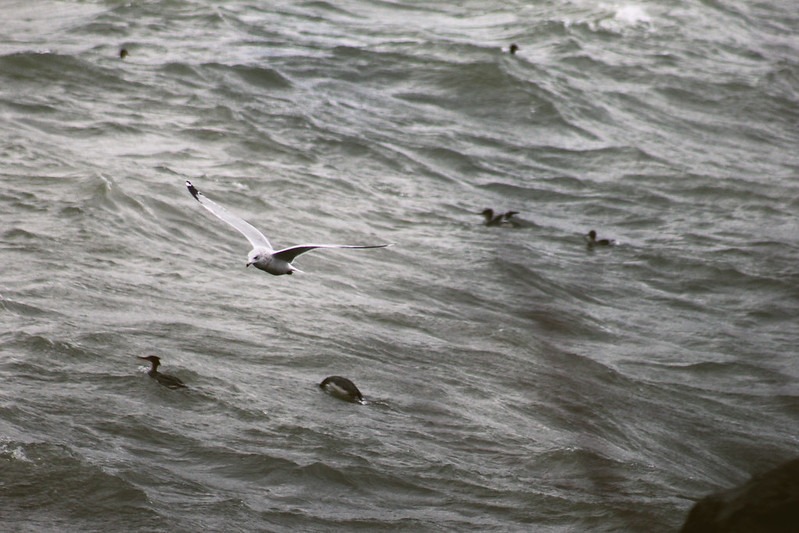 Lake Erie Birds