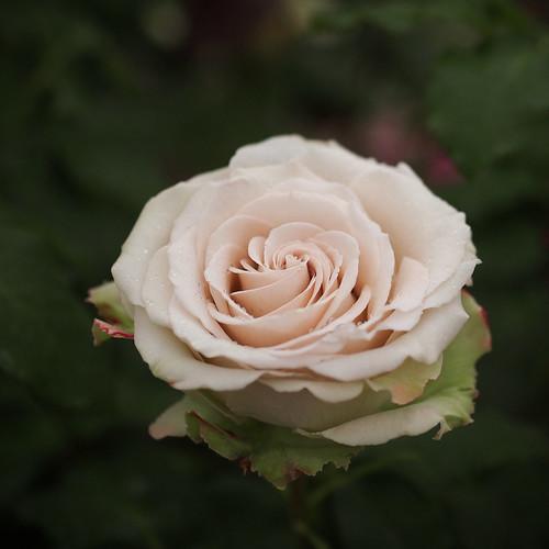 Rose, Desert, バラ, デザート,