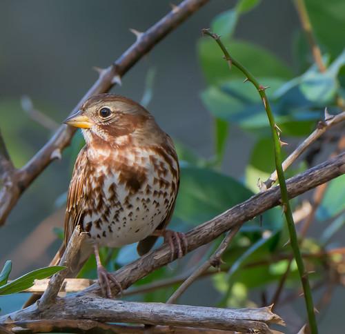 foxsparrow sparrow passerellailiaca thicket bird maryland bonniecoatesott