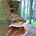 Small photo of Artist's Conk bracket fungus