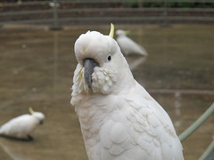 parrot(0.0), parakeet(0.0), cockatoo(1.0), animal(1.0), wing(1.0), white(1.0), pet(1.0), sulphur crested cockatoo(1.0), fauna(1.0), beak(1.0), bird(1.0), wildlife(1.0),