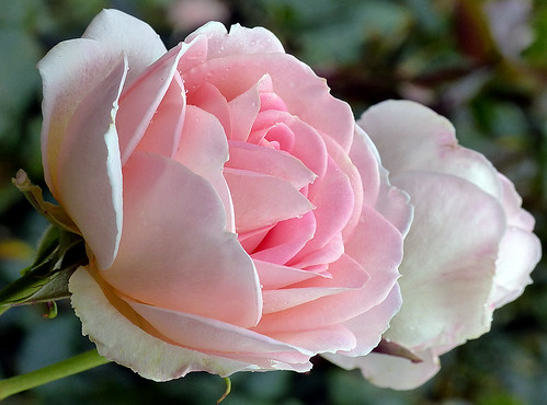 Nancy Steen.Rose.