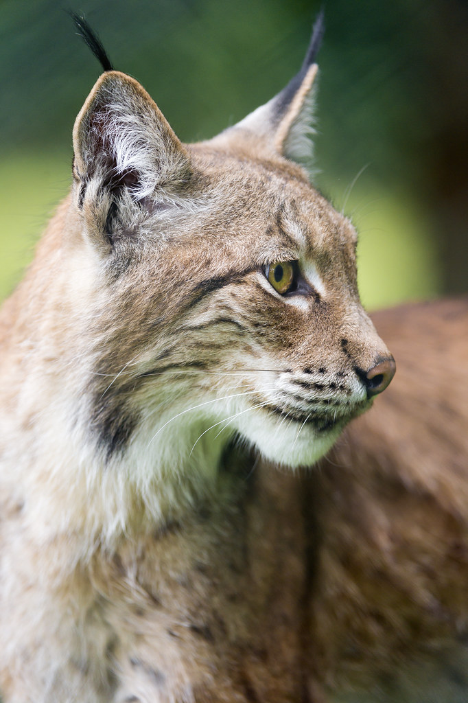 Lynx looking at the side