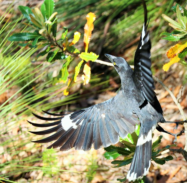 Currawong in flight - Wentworth Falls, Blue Mountains