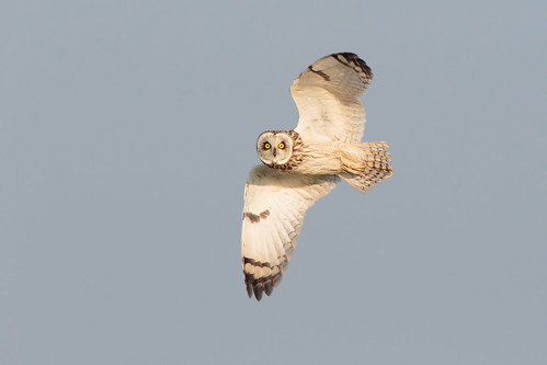 bird inflight somerset owl wwt asio shorteared flammeus steartmarshes