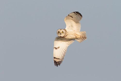 bird inflight somerset owl wwt asio shorteared flammeus steartmarshes