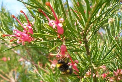 Bumblebee worker on Grevillea