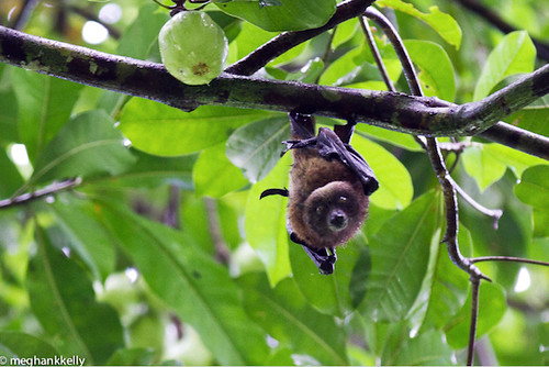 vanikoro flying fox
