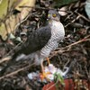 Andy took this picture of a sparrowhawk in our garden today. I have blurred out the thing it was eating as best I could - don't look closely at the lower half of the picture.