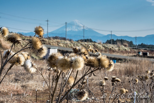 Fuji Behind Old Sunflowers