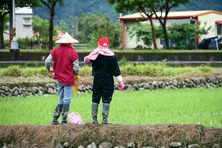 一朵一朵的斗笠花是田裡美麗的風景。攝影:李慧宜