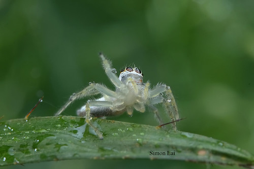IMG_5249 Jumping spider,Telamonia dimidiata.