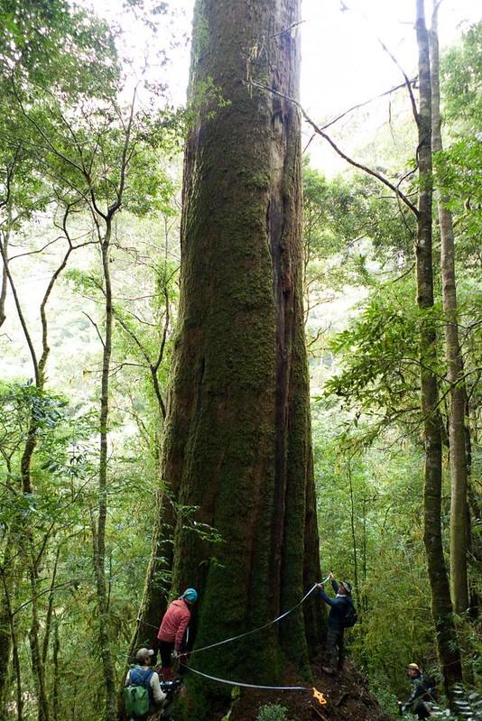 最大的台灣杉有三千歲了