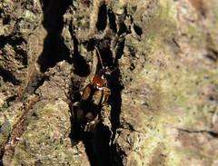 Dromius quadrimaculatus