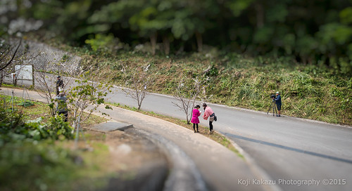 クメノサクラ 2015   Okinawa, Japan 36
