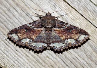 Zale lunata (Lunate Zale Moth) Hodges # 8689