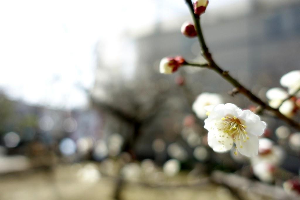 The flower of plum in Nanao Tenjin Shinto Shrine 2015/02 No.1.