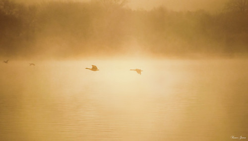 Geese Flying in the Mist
