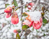 Blooms in Snow