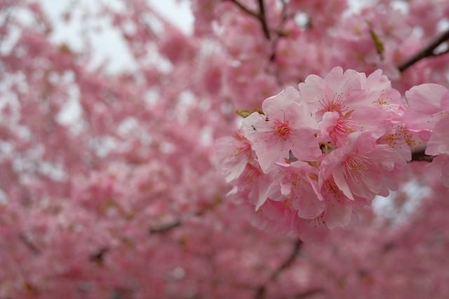 美和桜は葉が出始めているので、今週末の桜祭りの時には、散ってしまっているかな?