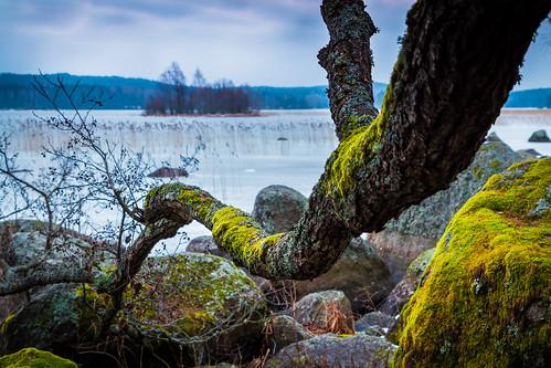 winter lake snow tree ice rock suomi finland landscape island evening moss scenery branch dof cloudy overcast shallow february lumi talvi puu mossy maisema ilta järvi jää saari cokin sammal kangasala oksa roine helmikuu ndgrad pilvinen matinsaari