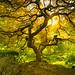 The surreal Portland Japanese Maple Tree by Matt Shiffler Photography