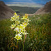 Flowers on Sacajawea Peak, Montana (USA)