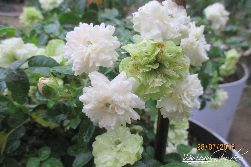 Hoa hồng Green Ice Rose khi nở hoa màu sắc hoa có thể thay đổi đôi chút ở mỗi bông, có khi là hoa trắng, có khi là hoa màu xanh nhạt