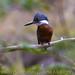 Martim-pescador-grande (Ceryle torquata) Ringed Kingfisher by Johanes Duarte 2013
