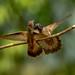 Colibrí orejivioleta marrón / Brown Violetear by Andrés Ceballos V.