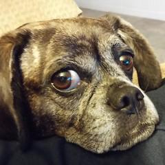 #Mocha The #Puggle.  My famous sidekick on #SurvivalBros dot com.  #Photo by #CameronMcKirdy dot com. #Dog #snuggling