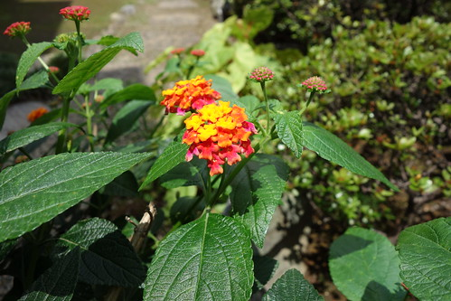 "lantana_1 ""ランタナ"" の花の写真。 緑色の葉。 黄色と橙色と赤色の花。"