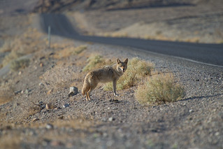Coyote, Death Valley Nationalpark, CA | Roland Krinner