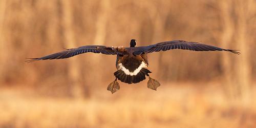 usa flying colorado flight waterbird goose landing dxo canadiangoose allrightsreserved bif birdinflight cherrycreekstatepark pixelpeeper copyright2015davidcstephens dxoopticspro101 y6a3785dxosrgb