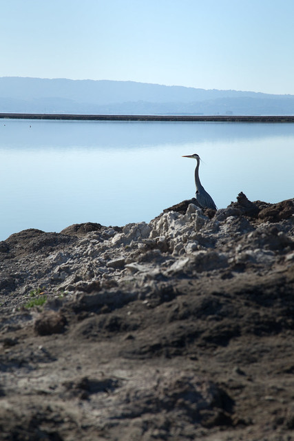 Great Blue Heron - San Francisco Bay