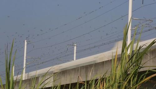 高鐵讓部分野生動物失去生命