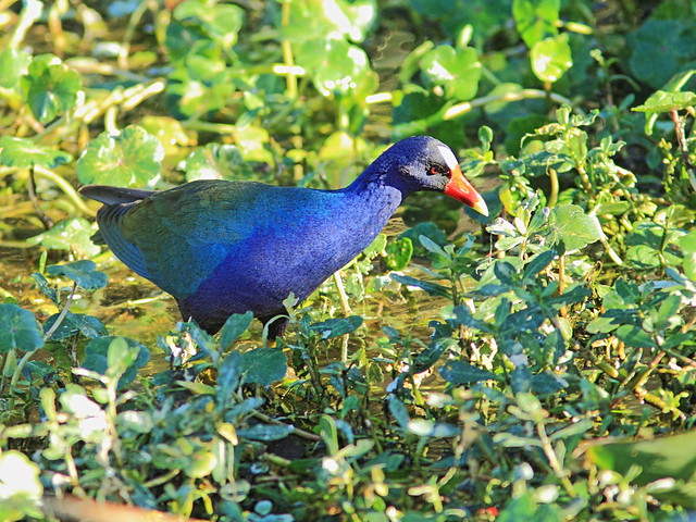 Purple Gallinule 2-20140212