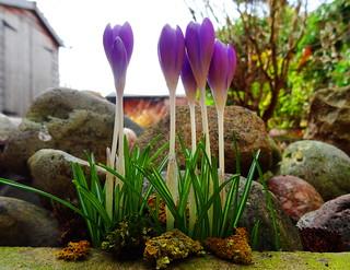 Crocus, An English Garden 2015 (14)