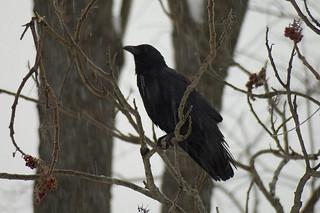 crow by Tom LeBlanc