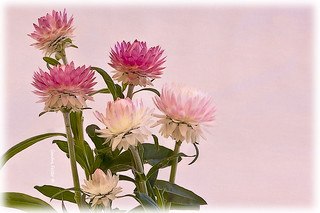 Pink Strawflowers