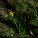 The First Daffodil